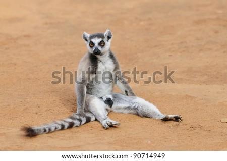 Ring-Tailed Lemur Sitting on the Ground - Madagascar - stock photo