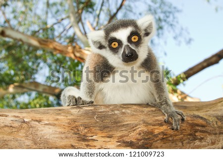 Ring-tailed lemur sitting on the tree - stock photo