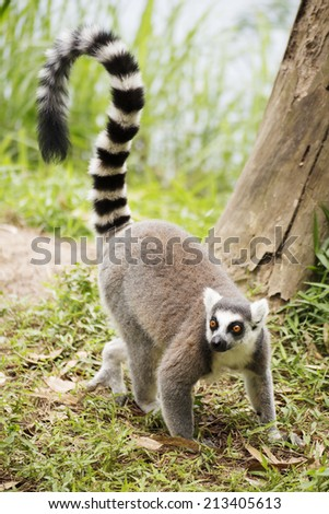 Ring-tailed lemur standing on the grass  - stock photo