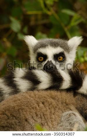 Ring Tailed Lemur Tail - stock photo