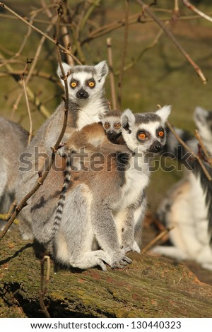 Ring-tailed lemur with baby - stock photo