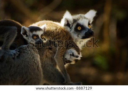 ring-tailed lemur with cute baby on its back - stock photo