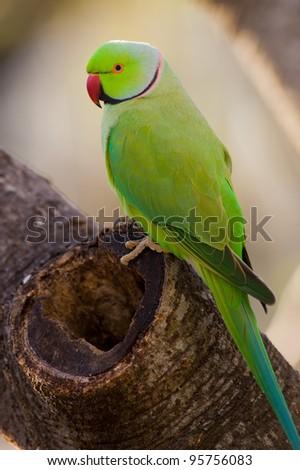 Ringneck Parakeet - stock photo