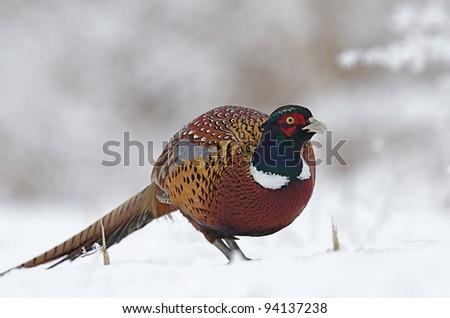 Ringneck Pheasant in Snowy Landscape - stock photo