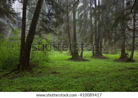 Riparian stand in springtime with fresh green bottom and anemone flowering in foreground,Bialowieza forest,Poland,Europe - stock photo