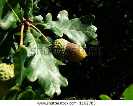 Ripe acorn on oak tree - stock photo