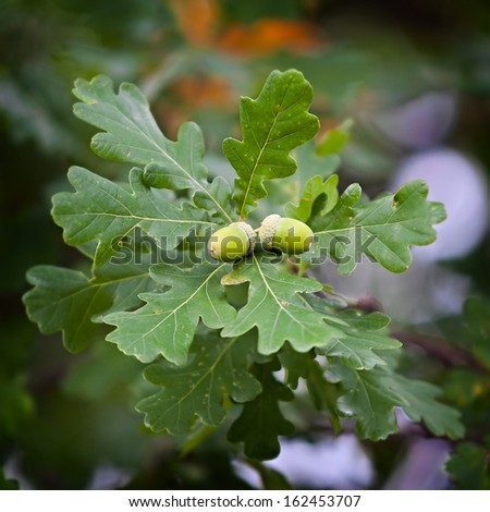 Ripe acorns on the branches of the oak. - stock photo