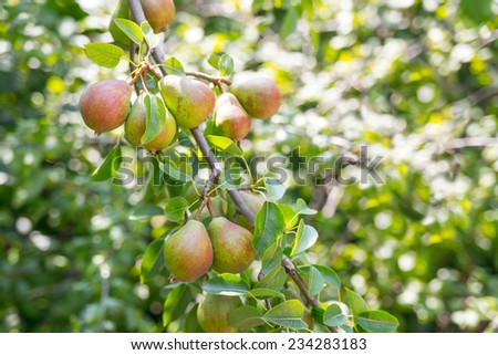 Ripe and juicy pear fruit on the branch in the garden - stock photo