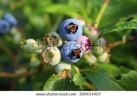 Ripe and unripe blueberries on the bush in the garden - stock photo