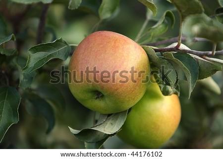 Ripe apple harvest - stock photo