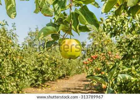 Ripe apple on a branch surrounded by a garden with fruit harvest on a sunny autumn day, close up - stock photo