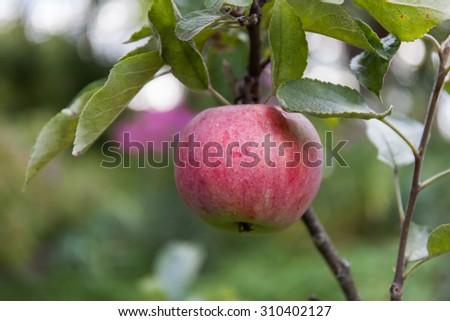 Ripe apple on a tree brunch - stock photo