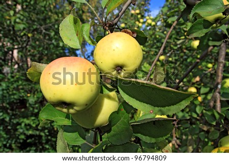 ripe apple on green aple tree - stock photo