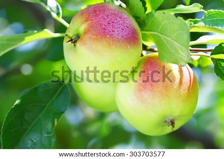 Ripe apple on the branch - stock photo