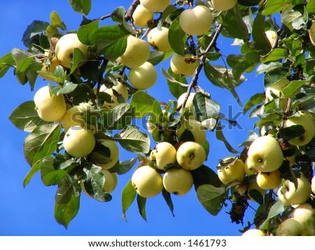 Ripe apples - stock photo
