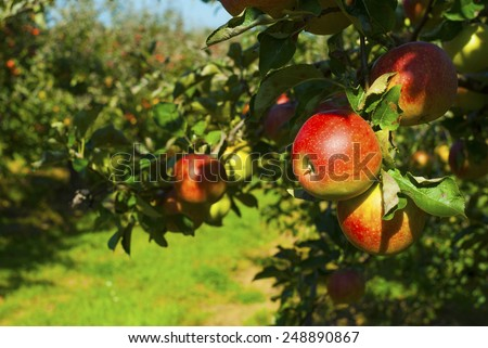 ripe apples hanging on a branch at orchard - stock photo