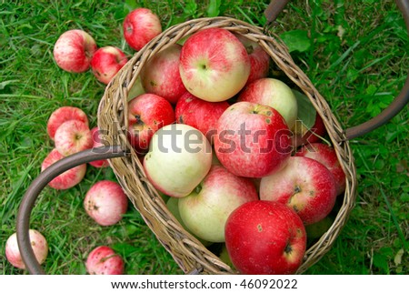 Ripe apples in the basket - stock photo