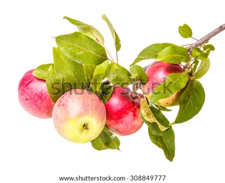 ripe apples on a branch isolated on white background - stock photo