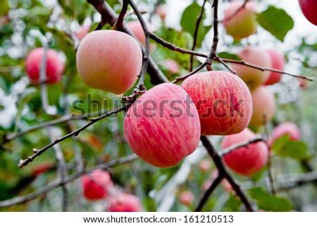 ripe apples on a tree - stock photo