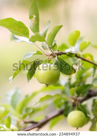 ripe apples on a tree branch - stock photo