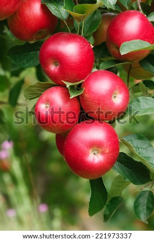 Ripe Apples on Branch.  Ripe red apples hang from the branch of a tree.  Selective focus - stock photo