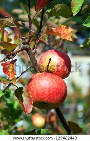 Ripe apples on the apple tree - stock photo