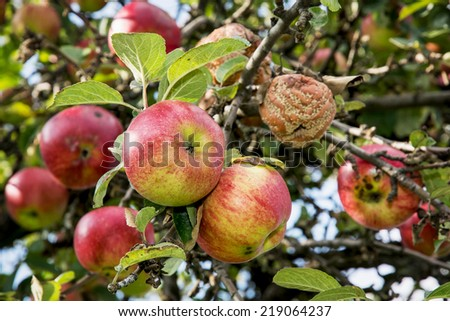 Ripe apples on the tree. Autumn harvest. - stock photo