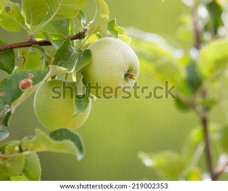 ripe apples on the tree in nature - stock photo