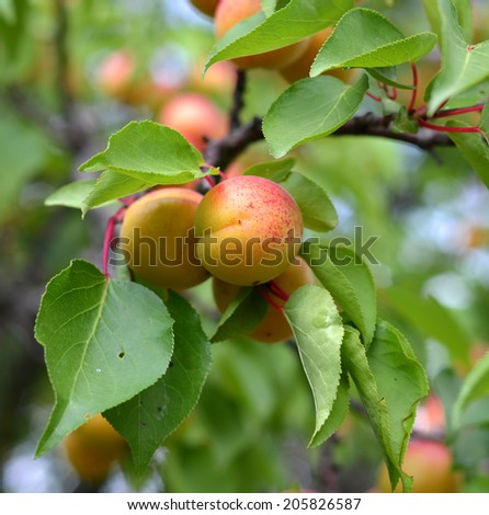 Ripe apricots growing on the apricot tree - stock photo