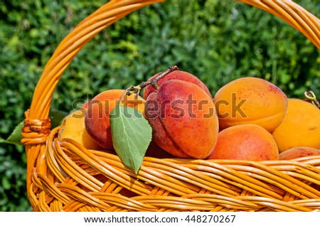 Ripe apricots in a wicker basket  on wooden table - stock photo
