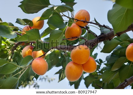 Ripe apricots on a green branch - stock photo