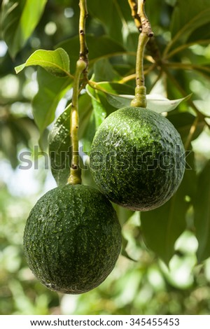 ripe  avocados growing on tree  - stock photo