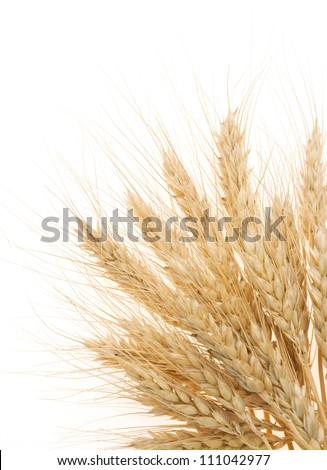 ripe barley ears isolated on white background - stock photo