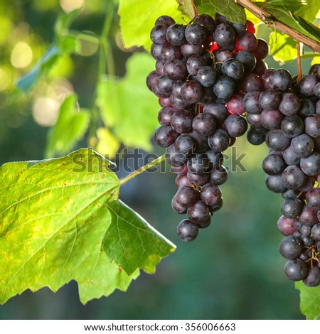 Ripe beautiful grapes on branches. Agricultural concept - stock photo