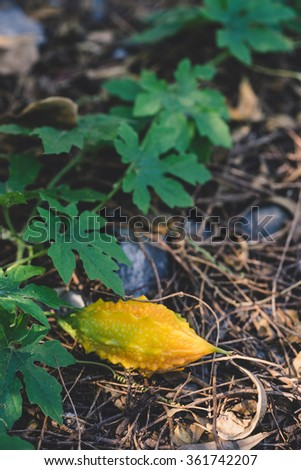 ripe bitter gourd in the plant - stock photo
