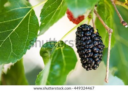 ripe black berry on Morus tree (black mulberry, blackberry, Morus nigra) close up in sunny day - stock photo