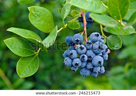 ripe blueberry cluster on a blueberry bush - stock photo