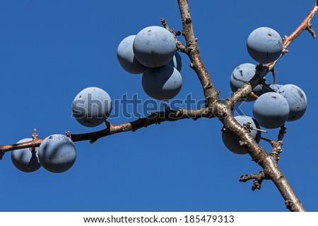 Ripe brackthorn (Prunus spinosa) over blue sky - stock photo