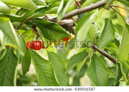 ripe cherries on a tree - stock photo