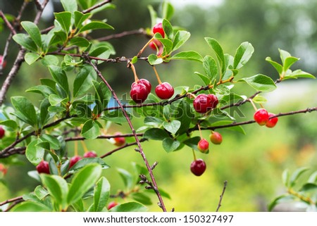 Ripe Cherries on a Tree Branch after rain - stock photo