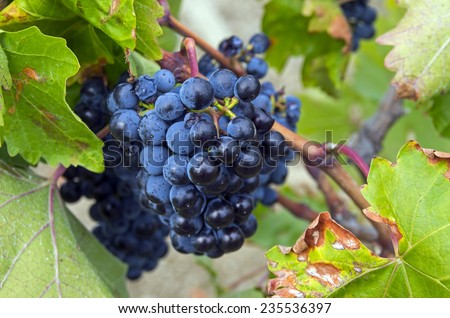 Ripe clusters of dark blue grapes. Crimea, September. - stock photo