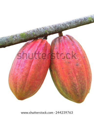 Ripe cocoa beans on the white background - stock photo