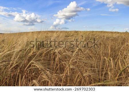 Ripe cornfields and a blue sky - stock photo
