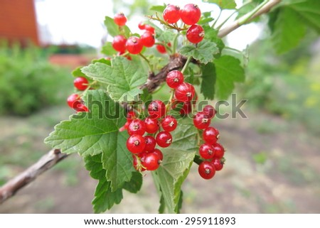 Ripe cultivar redcurrant  (Ribes) berries in the summer garden - stock photo