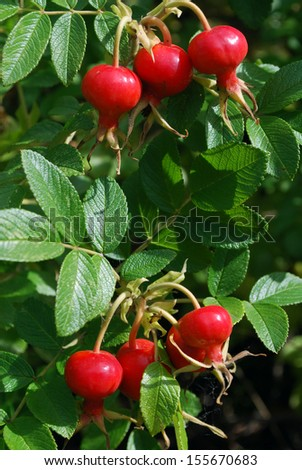 Ripe dogrose berries grow on Bush  - stock photo