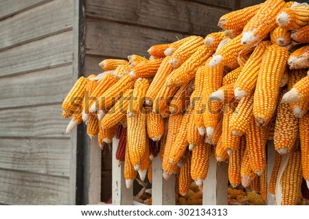 Ripe dried corn cobs - stock photo
