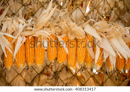 Ripe dried corn cobs hanging - stock photo