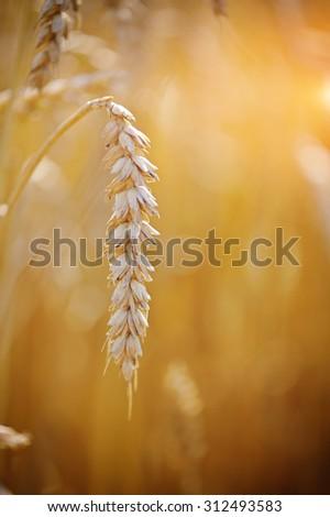 Ripe ear wheat. Close-up - stock photo
