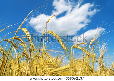 Ripe ears of barley against the blue sky with clouds - stock photo
