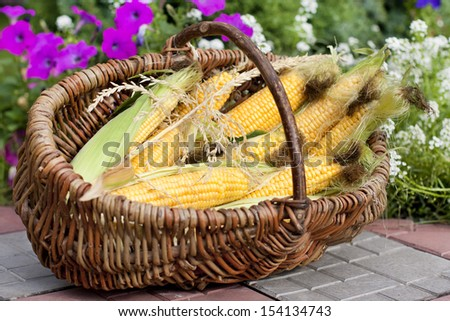 Ripe ears of corn in a wicker basket in the garden on a background of flowers - stock photo